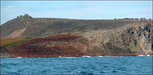 Our Planet' film crew is still lying about walrus cliff deaths