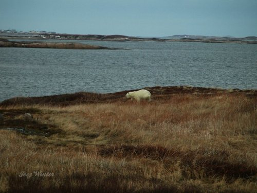 Westleyville polar bear visit_14 April 2019 JoeyMarie Winter facebook