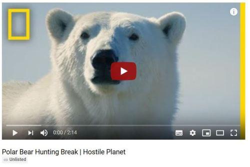 Polar bear hunting beluga_Nat Geo 11 April Hostile Planet clip starving