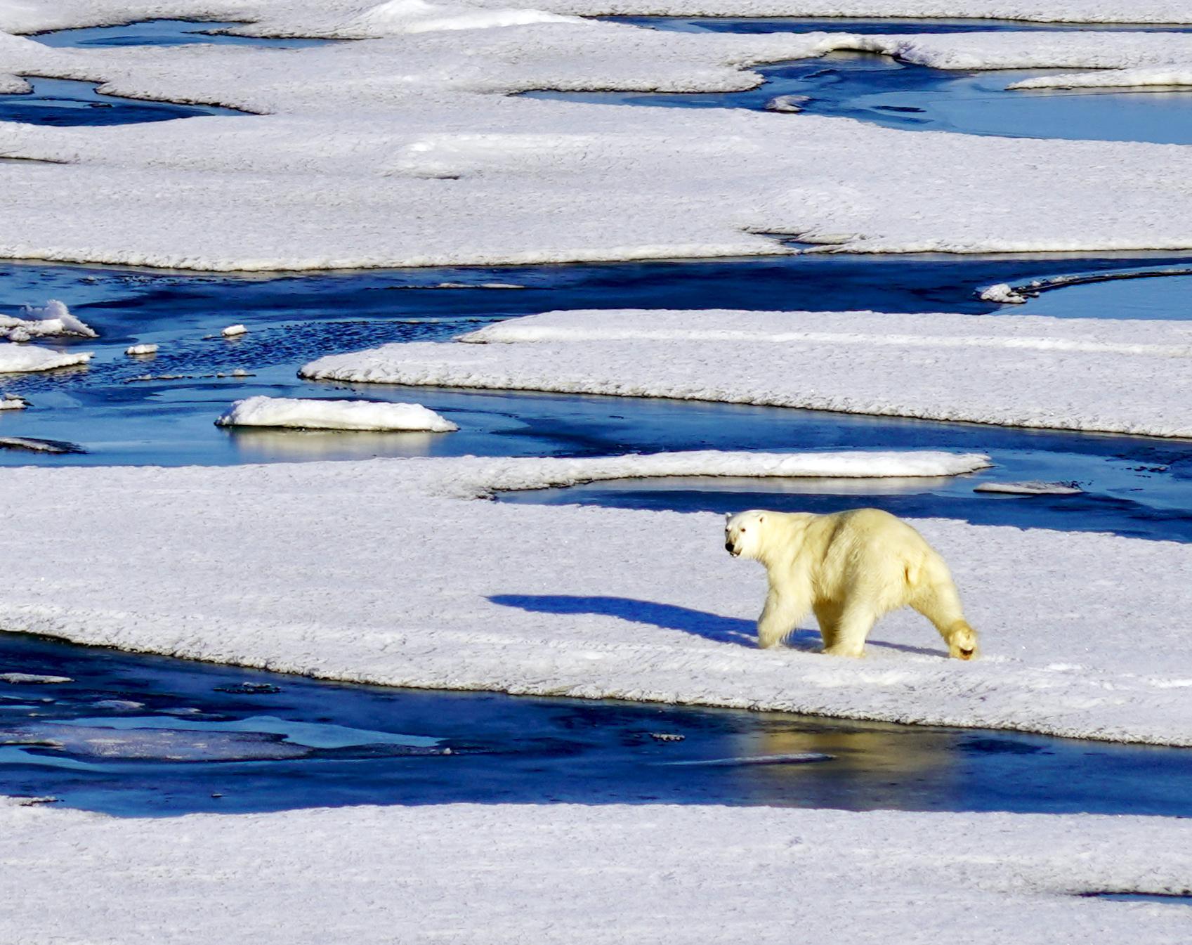 Chukchi Sea polar bear Arctic_early August 2018_A Khan NSIDC