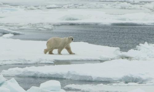 Polar_bear Bering Sea 2007 USFWS lg