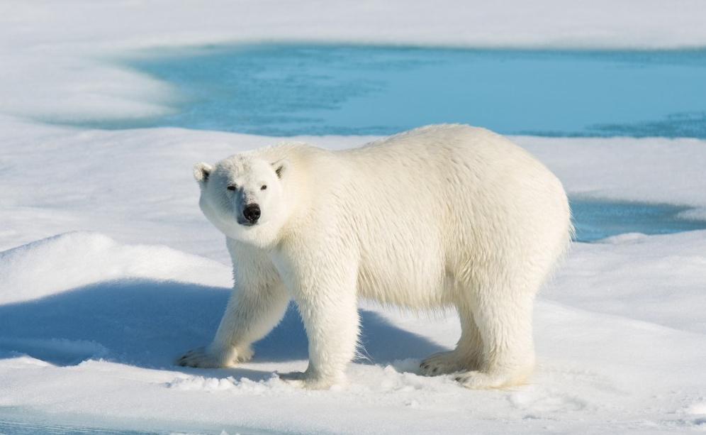 Standing bear_shutterstock_751891378_cropped web sized