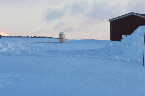 Bear island 8 March 2019_first bear seen by Meteorological Institute station crews since 2011_Bjørnøya Meteorological Station photo