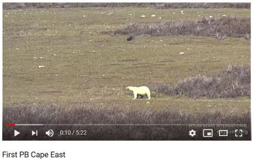 Churchill_first polar bear at Cape Churchill 5 July 2019 on explore dot org cam screencap