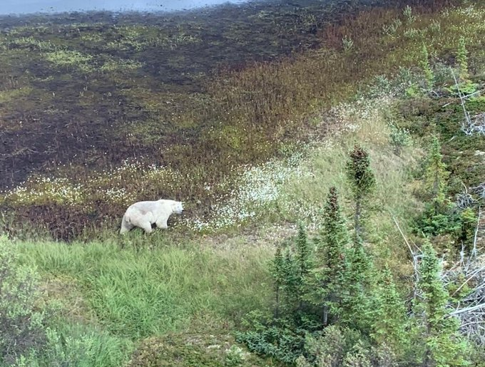 Fat pb spotted by RCMP outside Gillam during manhunt 27 July 2019