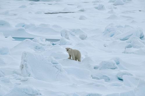 Franz Josef Land polar bear 2019 no date_Photo by Michael Hambrey_sm