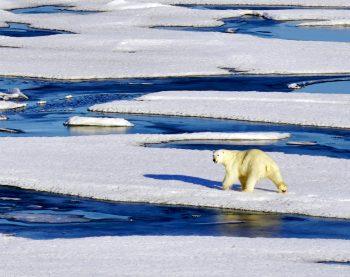 Chukchi Sea polar bear Arctic_early August 2018_A Khan NSIDC small
