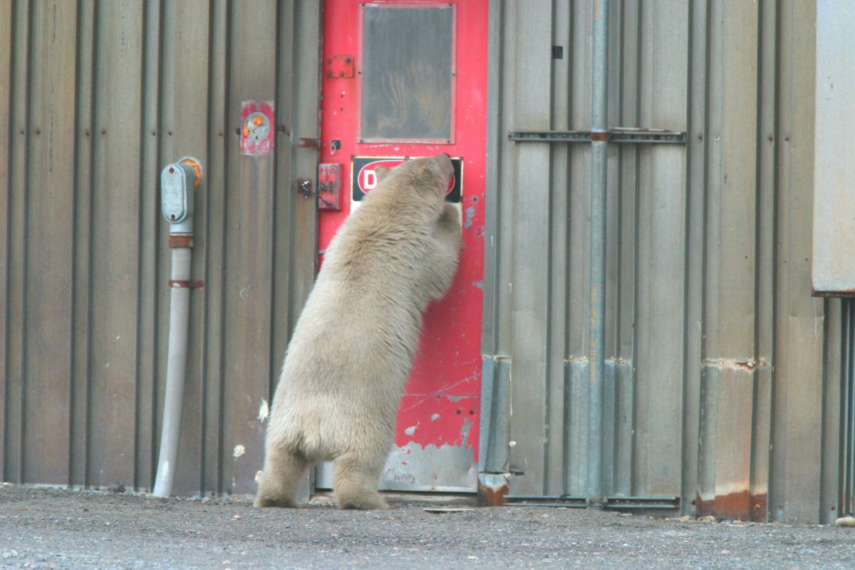 polar_bear-US FWS_young bear Alaska maybe Kaktovik no date