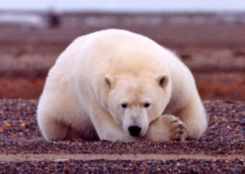 Polar_bear_resting_but_alert_original USFWS
