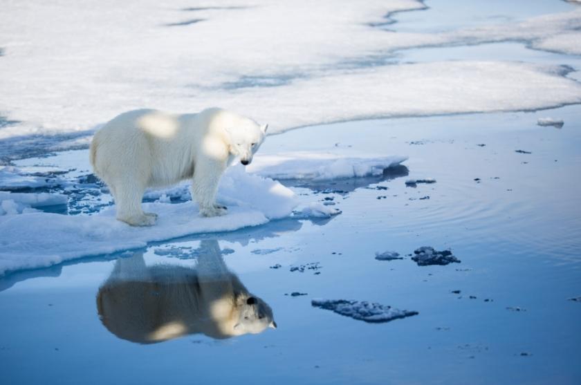 Svalbard polar bear fall 2015_Aars