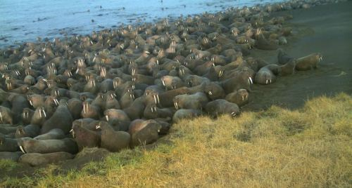 Walrus at Point Lay from trail camera in 2015 USFWS