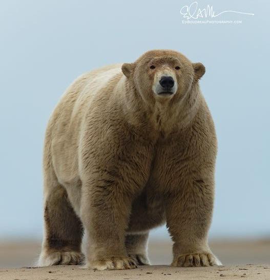 Kaktovik AK fat adult male polar bear mid September 2019_Ed Boudreau photo permission to use