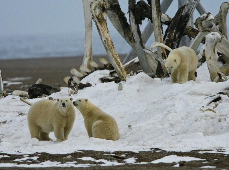 polar_bear_family_at_bone_pile Kaktovik 20 April 2016