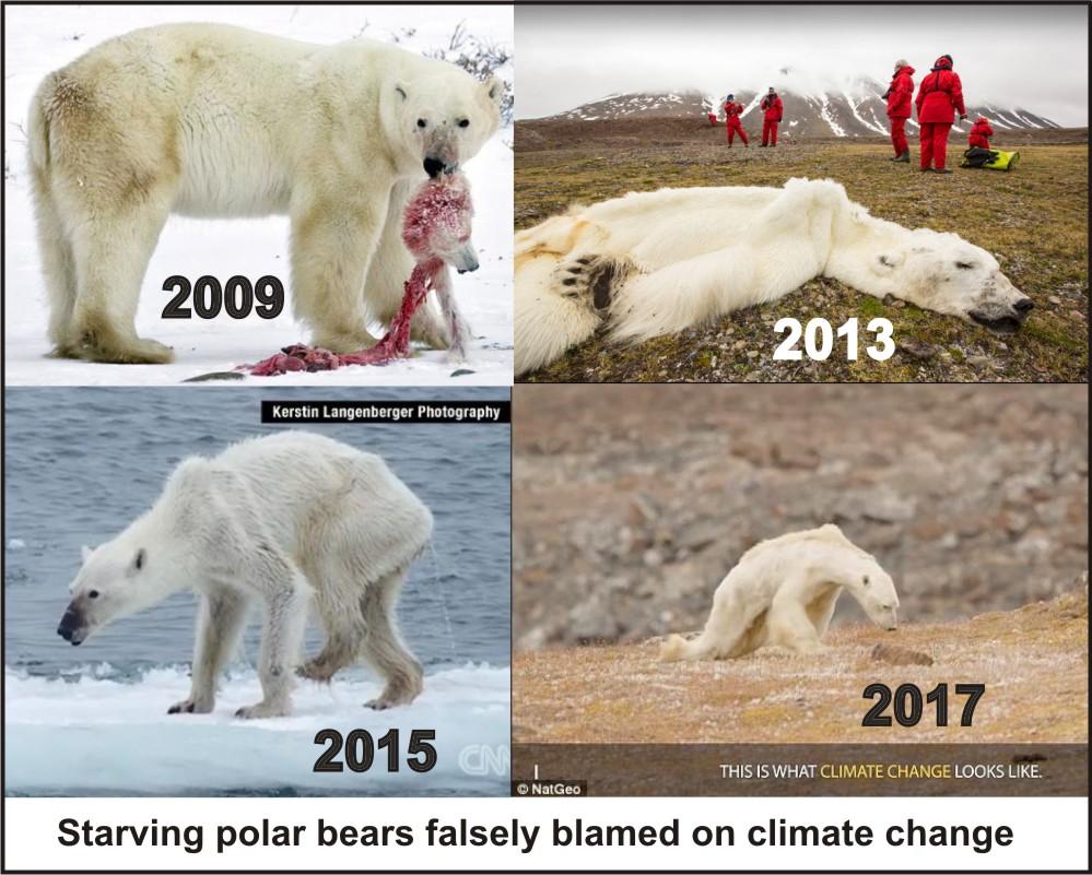 Starving polar bear composite_11 Sept 2019
