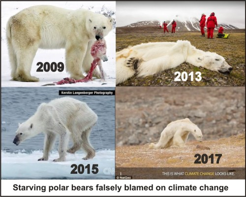 Starving polar bear composite_11 Sept 2019