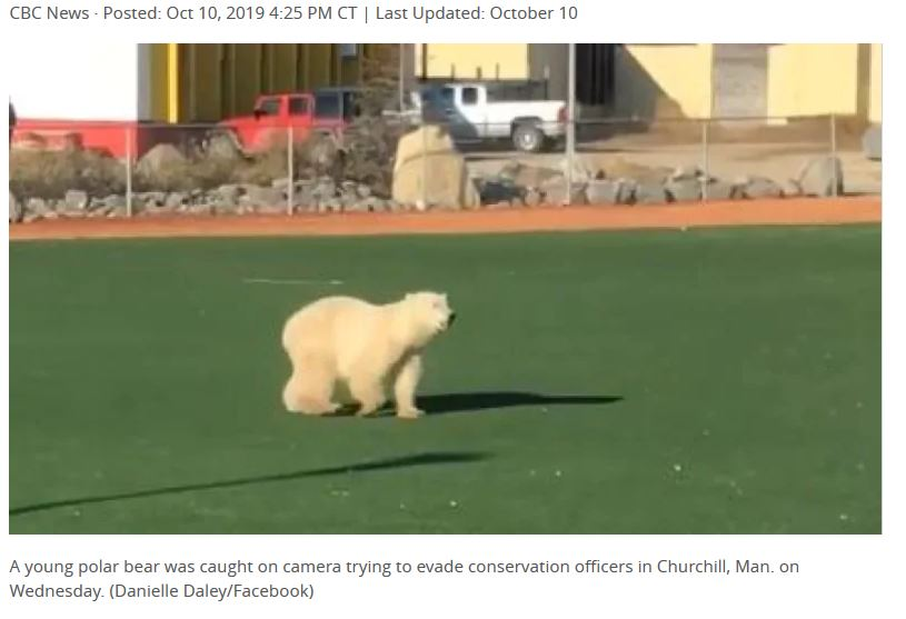 polar bear churchill 9 Oct 2019 Danielle Daley photo