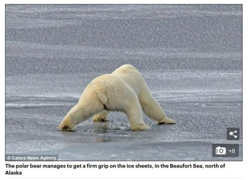 2015 Beaufort Sea AK bear on thin ice Daily Mail photo example
