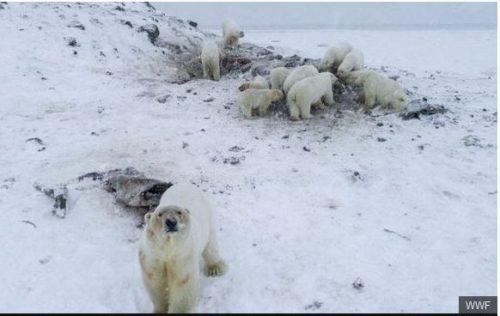 Ryrkaypiy overrun by polar bears WWF photo