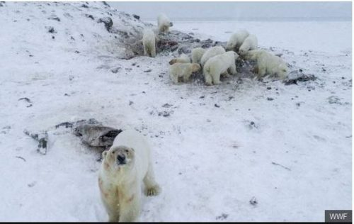 Ryrkaypiy overrun by polar bears WWF photo