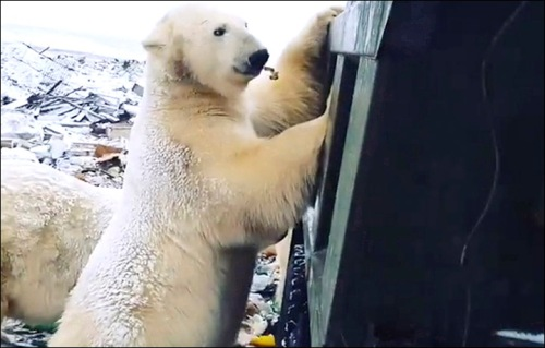 Polar beara checking out a Russian dump Kara Sea late November 2019_Irina Eliseeva photo