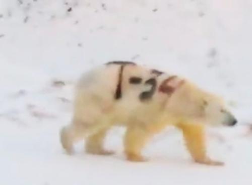 T-34 polar bear