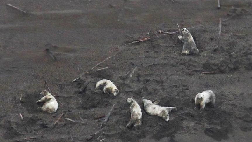 Six fat polar bear wallow in SB sand_NOAA summer 2019