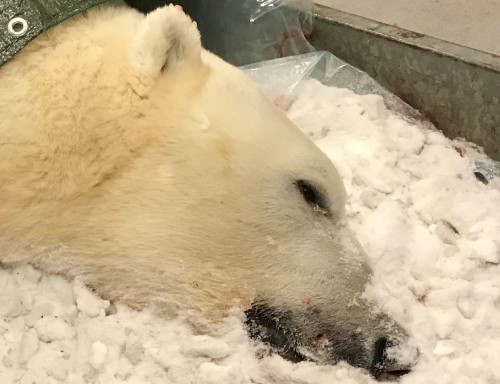 Svalbard 7 yr old male polar_bear shot 31 Dec 2019_photo_sysselmannen