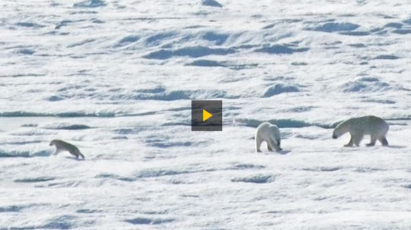 Cannibalism video 2015 Nat Geo_off Baffin Island