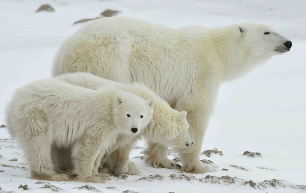 Mother with cubs Russia_shutterstock_71694292_web size