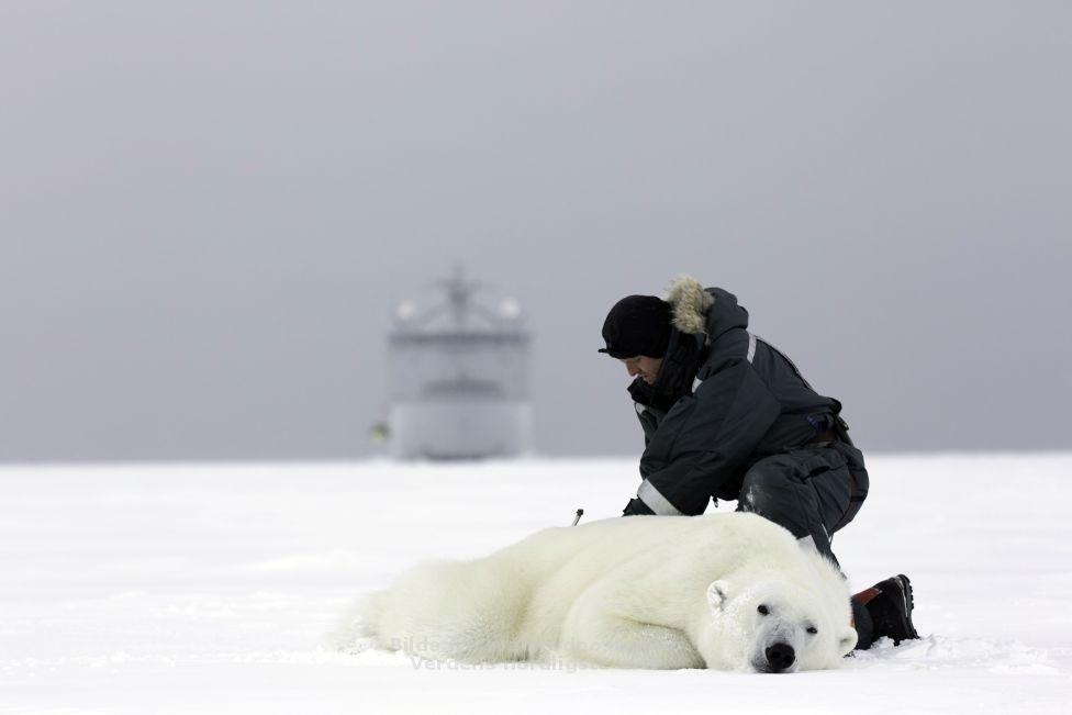 Svalbard polar bear Jon Aars_Norsk Polarinstitutt