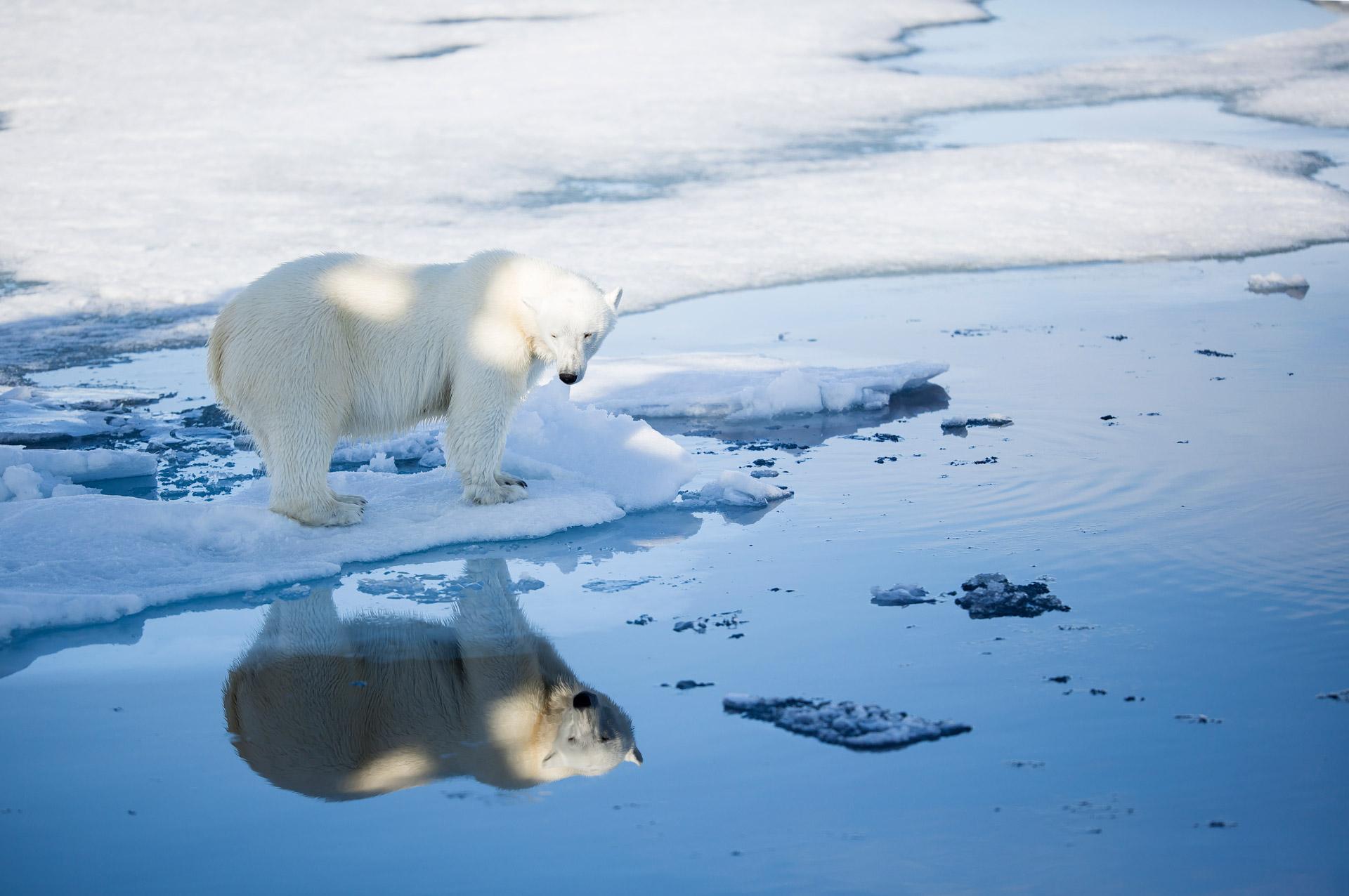 Svalbard polar bear_Aars August 2015-NP058930_press release