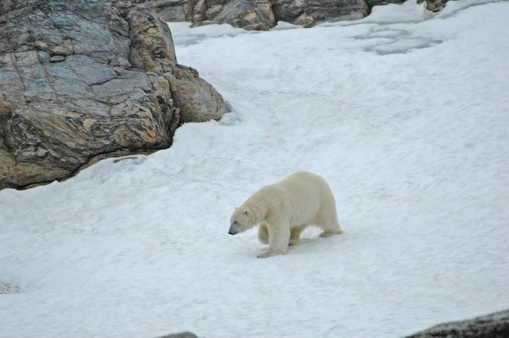 bear-on-snowbank_Radstock_Stirling