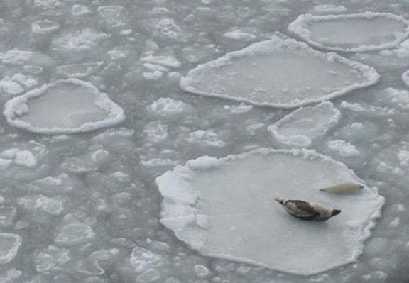 Harp seal on ice around PEI _DFO 2017
