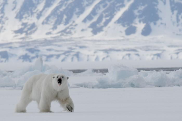 Baffin Island Bylot Sound bear_smaller_shutterstock_1144169858