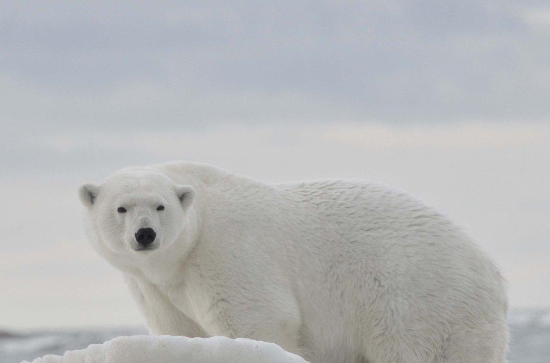 Polar bear_standing_web_shutterstock_1630907296
