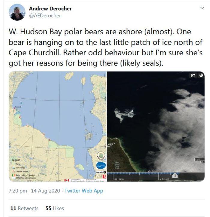 Derocher 2020 Aug 14_1 bear still on the ice at 14 Aug odd behaviour