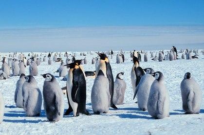 Emperor penguins NOAA_Wikipedia 2006 med