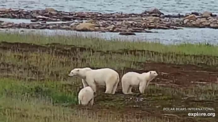 Polar bear Cape East 0 Wakusp NP _24 Aug 2020 earlier