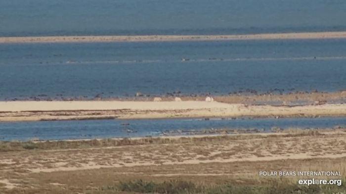 Polar bear Cape West Wakusp NP 1_12 Aug 2020