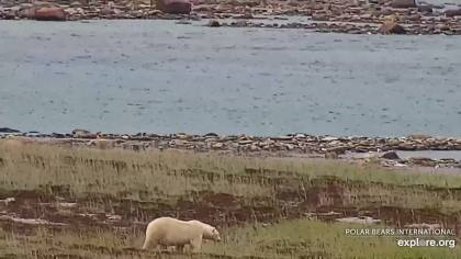 Polar bear fat Cape East Wakusp NP _26 Aug 2020