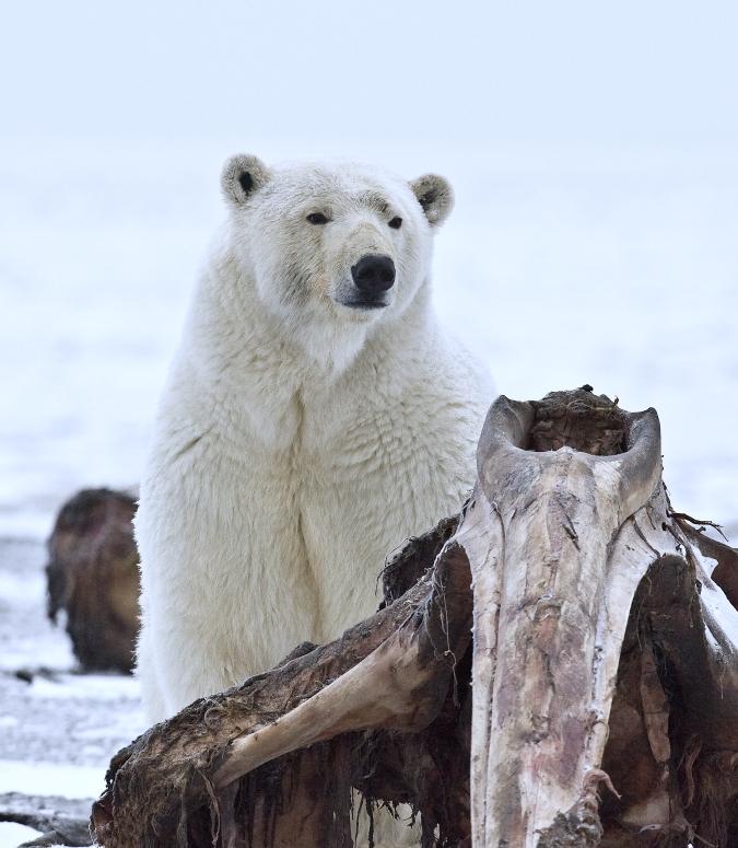 Polar Bear (Sow), Arctic National Wildlife Refuge, Alaska