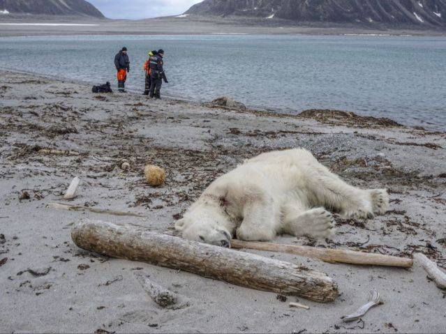 This image has an empty alt attribute; its file name is svalbard-dead-bear_gustav-busch-arntsen_governor-of-svalbard_ntb-scanpix-via-ap-28-july-2018-1.jpg
